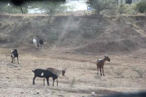 cabras desierto, san agustin